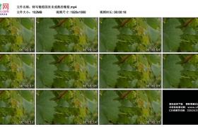 高清实拍视频丨特写葡萄园里未成熟的葡萄