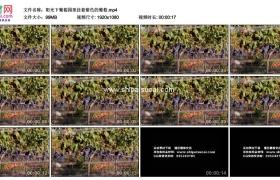 高清实拍视频素材丨阳光下葡萄园里挂着紫色的葡萄