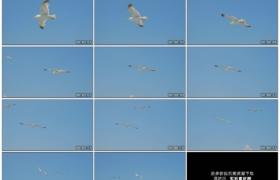 高清实拍视频素材丨海鸥在晴朗的蓝天上展翅飞翔