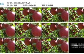 高清实拍视频素材丨实拍挂在枝头的红苹果