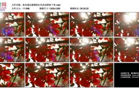 高清实拍视频素材丨阳光透过摇摆的红色花朵照射下来