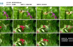高清实拍视频丨蜂鸟吸食花蜜