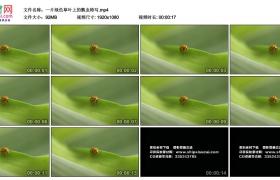 高清实拍视频丨一片绿色草叶上的瓢虫特写