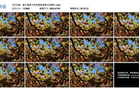 4k视频丨蓝天背景下阳光照射着秋天的黄叶