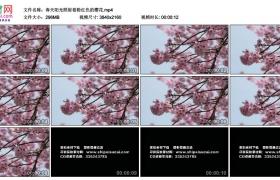 4K实拍视频素材丨春天阳光照射着粉红色的樱花