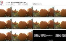 高清实拍视频丨晴天阳光照射着黄色的南瓜