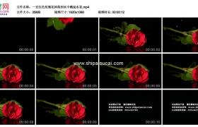 高清实拍视频素材丨一支红色玫瑰花掉落到水中溅起水花