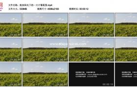 4K实拍视频素材丨航拍阳光下的一大片葡萄园
