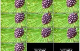 4K实拍视频素材丨特写阳光照射着松树树枝上的松果