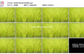 4K实拍视频素材丨雨后稻田里挂着水珠的秧苗