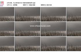 高清实拍视频素材丨乌云密布的天空下随风轻摆的枯草