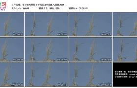 高清实拍视频丨特写阳光照射下干枯的玉米花随风摇摆