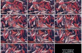4K实拍视频素材丨彩色的锦鲤金鱼在水中游来游去