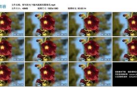 高清实拍视频丨特写阳光下随风摇摆的蜀葵花