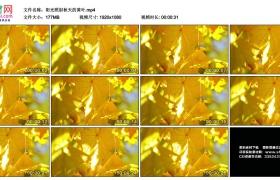 高清实拍视频丨阳光照射秋天的黄叶
