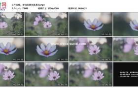 高清实拍视频素材丨梦幻的紫色格桑花