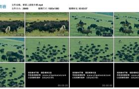高清实拍视频丨草原上放牧牛群