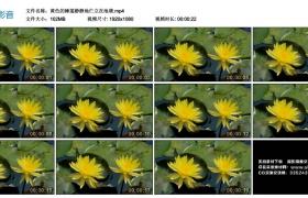 高清实拍视频丨黄色的睡莲静静地伫立在池塘