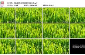高清实拍视频素材丨移摄逆光照射下稻田里绿色的秧苗