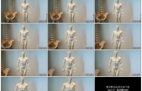 高清实拍视频素材丨人体构造模型