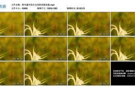 高清实拍视频丨特写盛开的百合花的花粉花蕊