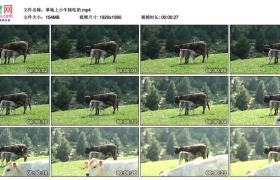 高清实拍视频丨草地上小牛犊吃奶