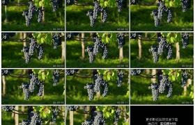 高清实拍视频素材丨移摄葡萄园里阳光照射着的紫色葡萄