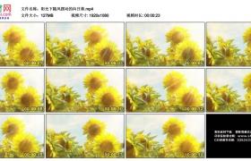 高清实拍视频素材丨阳光下随风摆动的向日葵