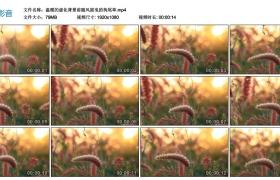 高清实拍视频丨温暖的虚化背景前随风摇曳的狗尾草