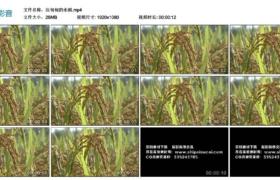 【高清实拍素材】沉甸甸的水稻