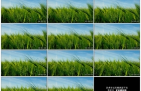 4K实拍视频素材丨移摄麦田里的青色麦穗