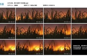 【高清实拍素材】晴天夜幕下的麦穗