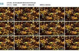 4K视频丨秋天阳光透过黄叶微风吹来沙沙作响