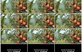 4K实拍视频素材丨果园里苹果树上挂着红红的苹果