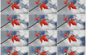 高清实拍视频素材丨秋天蓝天白云背景前挂着红叶的树枝