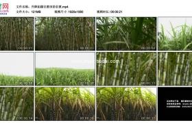 高清实拍视频素材丨升降拍摄甘蔗田的甘蔗