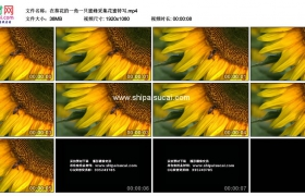 高清实拍视频素材丨在葵花的一角一只蜜蜂采集花蜜特写