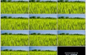 高清实拍视频素材丨绿色的麦田里麦穗随风摆动
