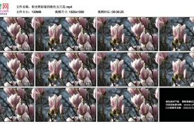高清实拍视频素材丨阳光照射着的粉色玉兰花
