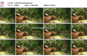 高清实拍视频素材丨几条热带鱼在鱼缸里游动