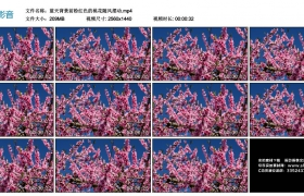 高清实拍视频丨蓝天背景前粉红色的桃花随风摆动