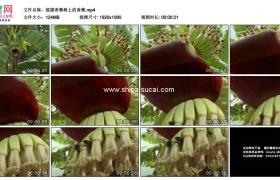 高清实拍视频素材丨摇摄香蕉树上的香蕉
