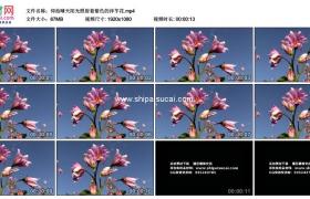 高清实拍视频素材丨仰拍晴天阳光照射着紫色的洋芋花
