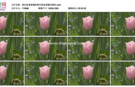 高清实拍视频素材丨雨后挂着雨滴的粉色郁金香随风摆动