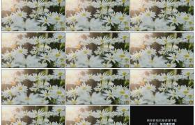 高清实拍视频素材丨特写逆光中漂亮的洋甘菊花