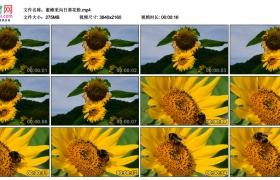 4K视频素材丨蜜蜂采向日葵花粉