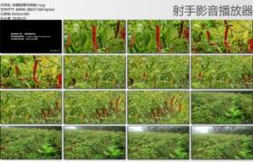 [高清实拍素材]辣椒园里有辣椒