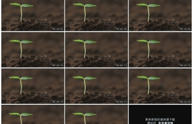 高清实拍视频素材丨特写土壤里的绿色幼苗随风摇摆