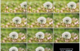 4K实拍视频素材丨摇摄一朵绽放的蒲公英花