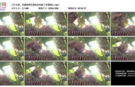 高清实拍视频素材丨采摘新鲜的葡萄放到篮子里慢镜头